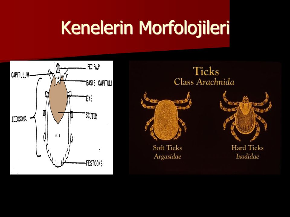  Argasidae –Scutum (kitin yaka) yok –Capitulum üstten görülmez (larva hariç)  Ixodidae –Scutum var  Larva, nimf ve dişide yaka şeklinde, erkeklerde dorsal yüzeyi kaplar –Capitulum üstten görülür