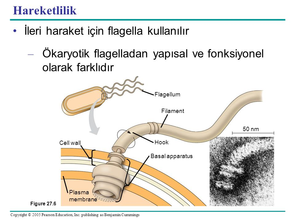 Copyright © 2005 Pearson Education, Inc. publishing as Benjamin Cummings Hareketlilik •İleri haraket için flagella kullanılır – Ökaryotik flagelladan