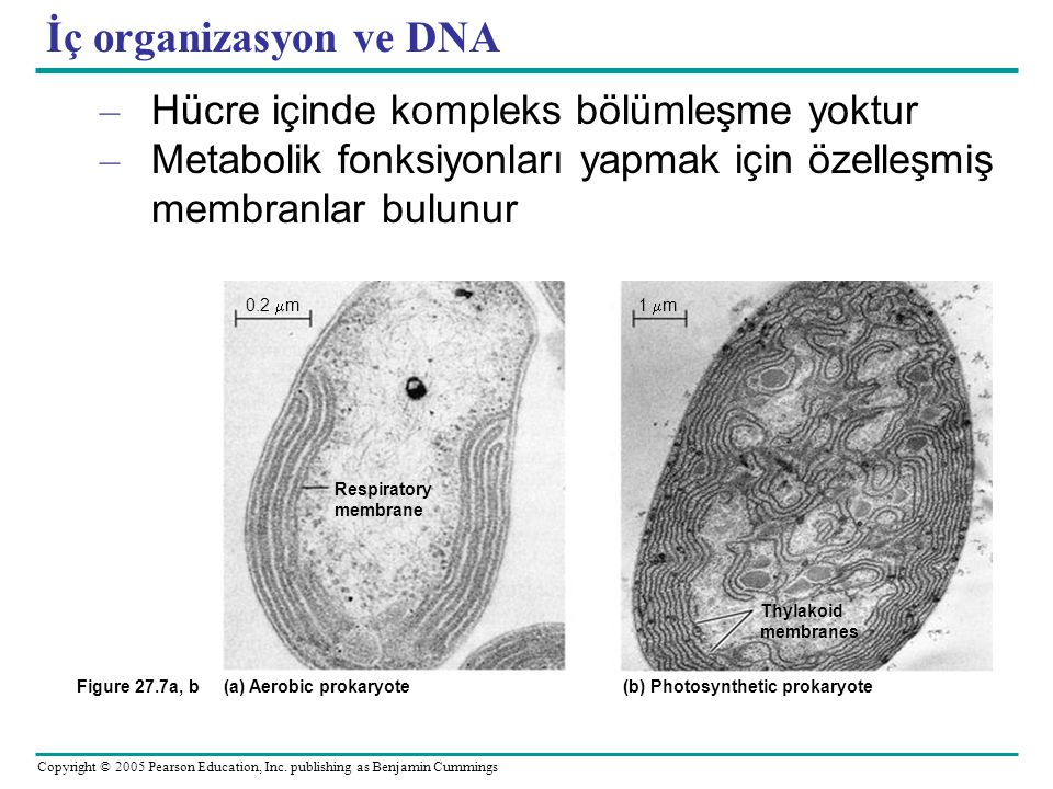 Copyright © 2005 Pearson Education, Inc. publishing as Benjamin Cummings İç organizasyon ve DNA – Hücre içinde kompleks bölümleşme yoktur – Metabolik