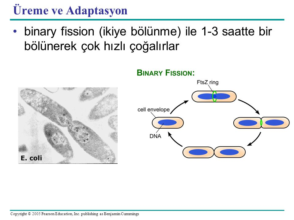 Copyright © 2005 Pearson Education, Inc. publishing as Benjamin Cummings Üreme ve Adaptasyon •binary fission (ikiye bölünme) ile 1-3 saatte bir bölüne