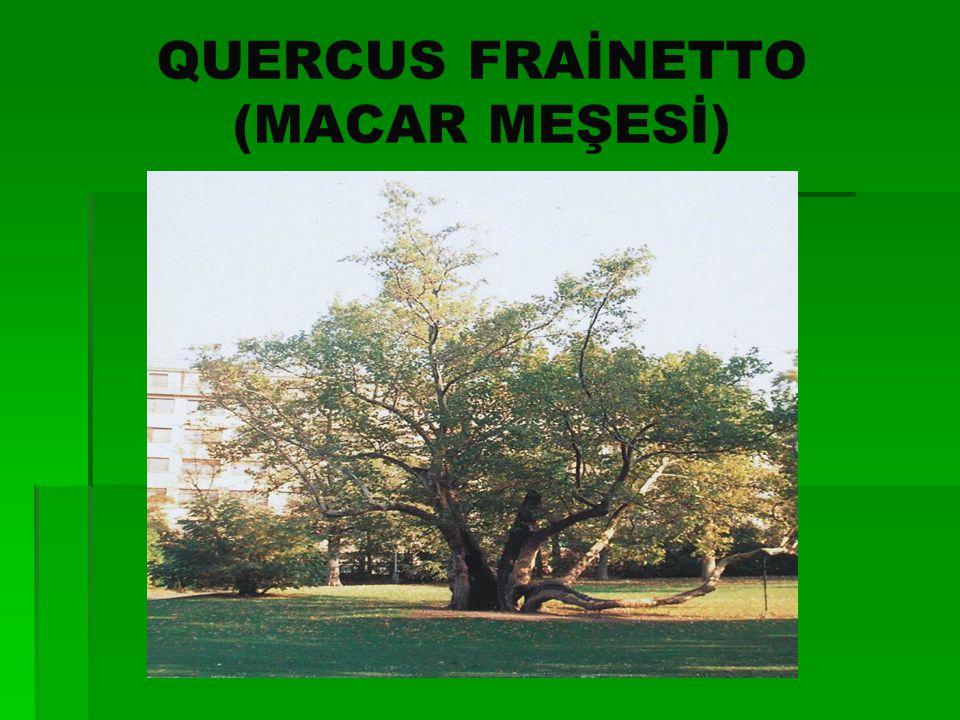 BİTKİ SİSTEMATİĞİ   SINIF:Magnoliatae   ALTSINIF:Hamameliadae   TAKIM:Fagales   FAMİLYA:Fagaceae   TÜR:Quercus frainetto