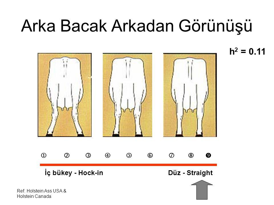Ref: Holstein Ass USA & Holstein Canada Arka Bacak Arkadan Görünüşü h 2 = 0.11          İç bükey - Hock-in Düz - Straight