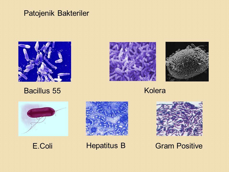 Patojenik Bakteriler Bacillus 55 Kolera E.Coli Hepatitus B Gram Positive