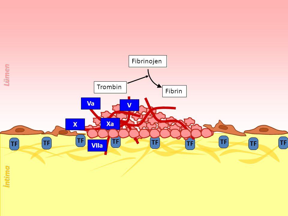 TF Trombin Fibrin Fibrinojen VIIa X Xa V Va İntima Lümen