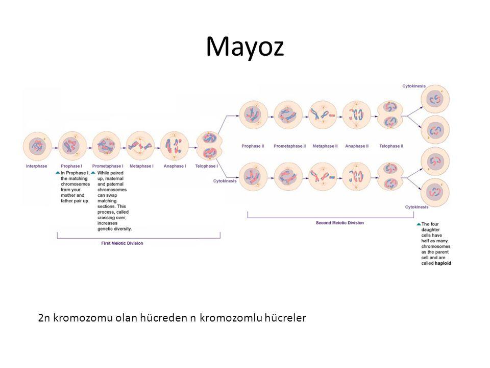 Mayoz 2n kromozomu olan hücreden n kromozomlu hücreler