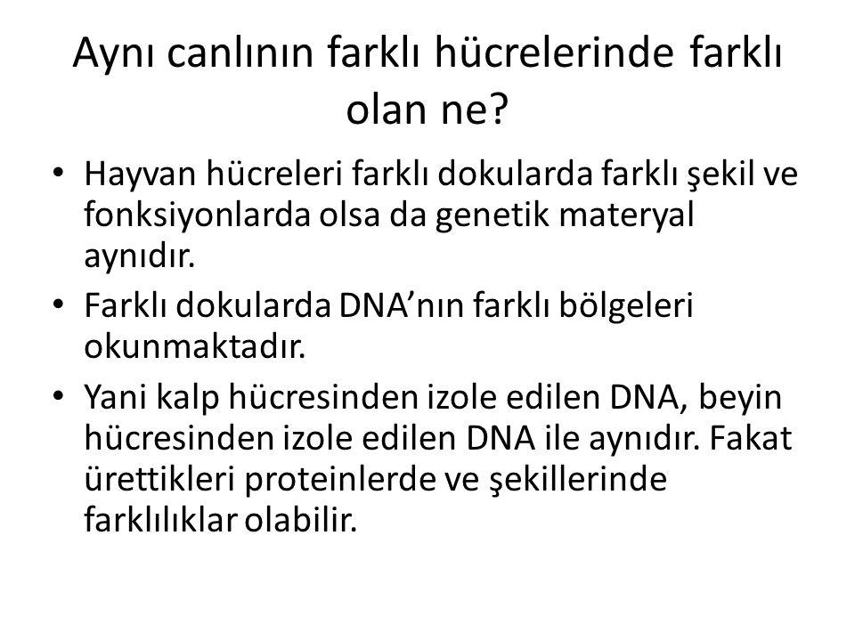 Aynı canlının farklı hücrelerinde farklı olan ne? • Hayvan hücreleri farklı dokularda farklı şekil ve fonksiyonlarda olsa da genetik materyal aynıdır.