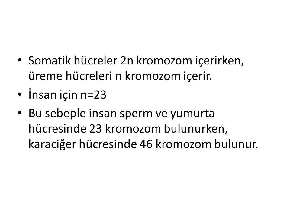 • Somatik hücreler 2n kromozom içerirken, üreme hücreleri n kromozom içerir. • İnsan için n=23 • Bu sebeple insan sperm ve yumurta hücresinde 23 kromo