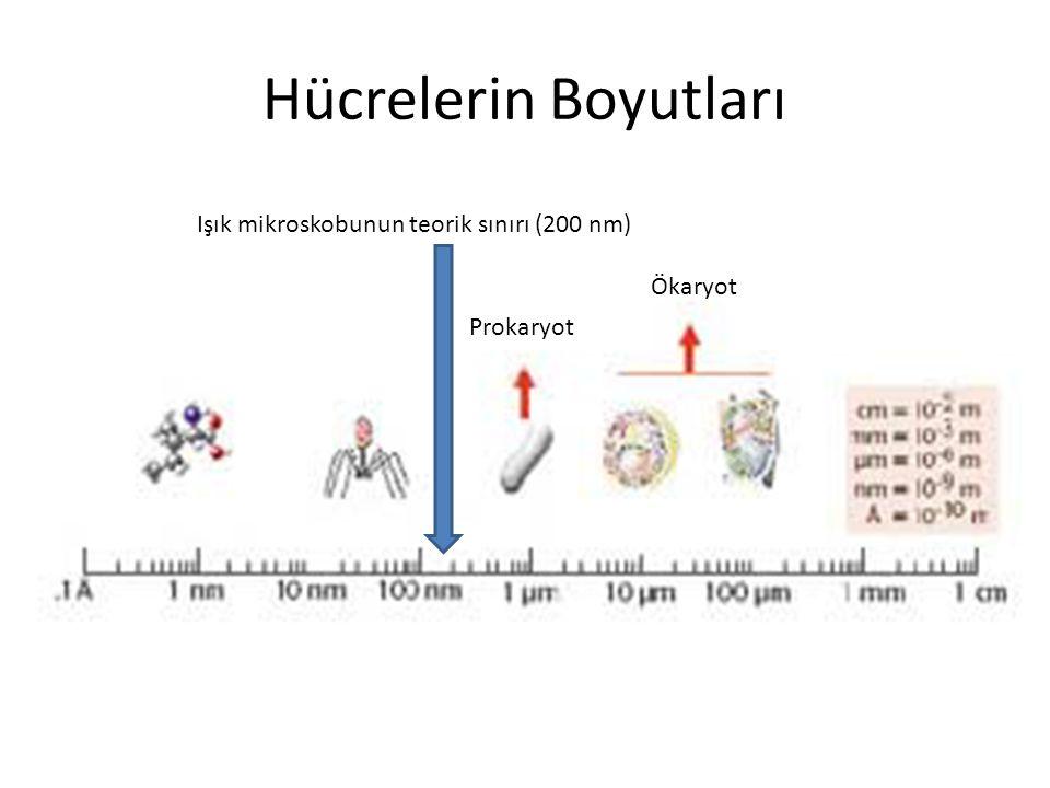 Hücrelerin Boyutları Ökaryot Prokaryot Işık mikroskobunun teorik sınırı (200 nm)