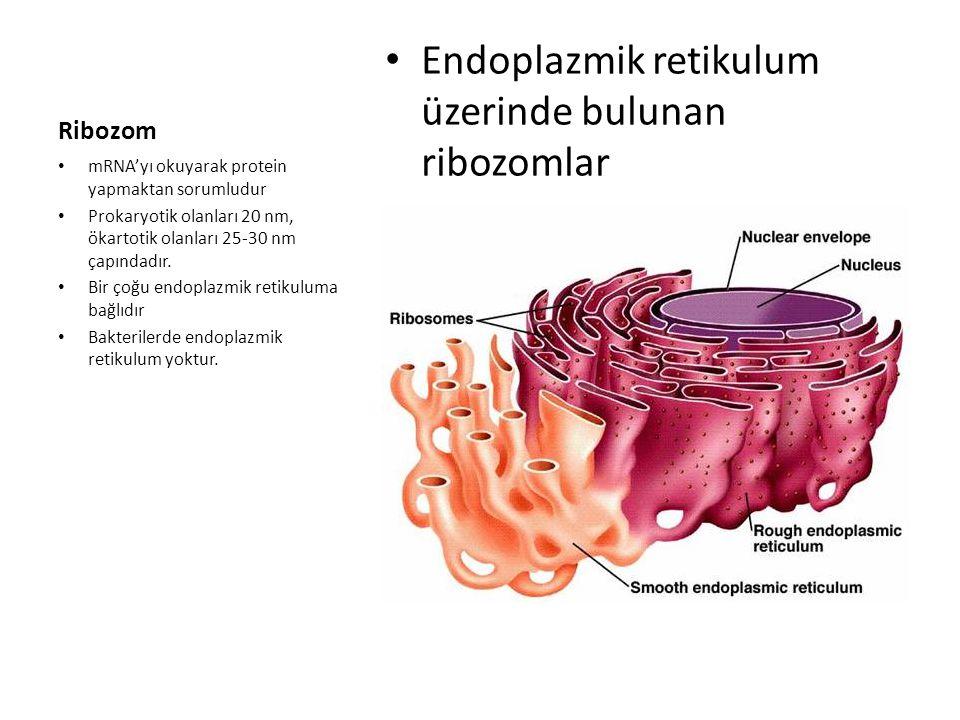 Ribozom • Endoplazmik retikulum üzerinde bulunan ribozomlar • mRNA'yı okuyarak protein yapmaktan sorumludur • Prokaryotik olanları 20 nm, ökartotik ol