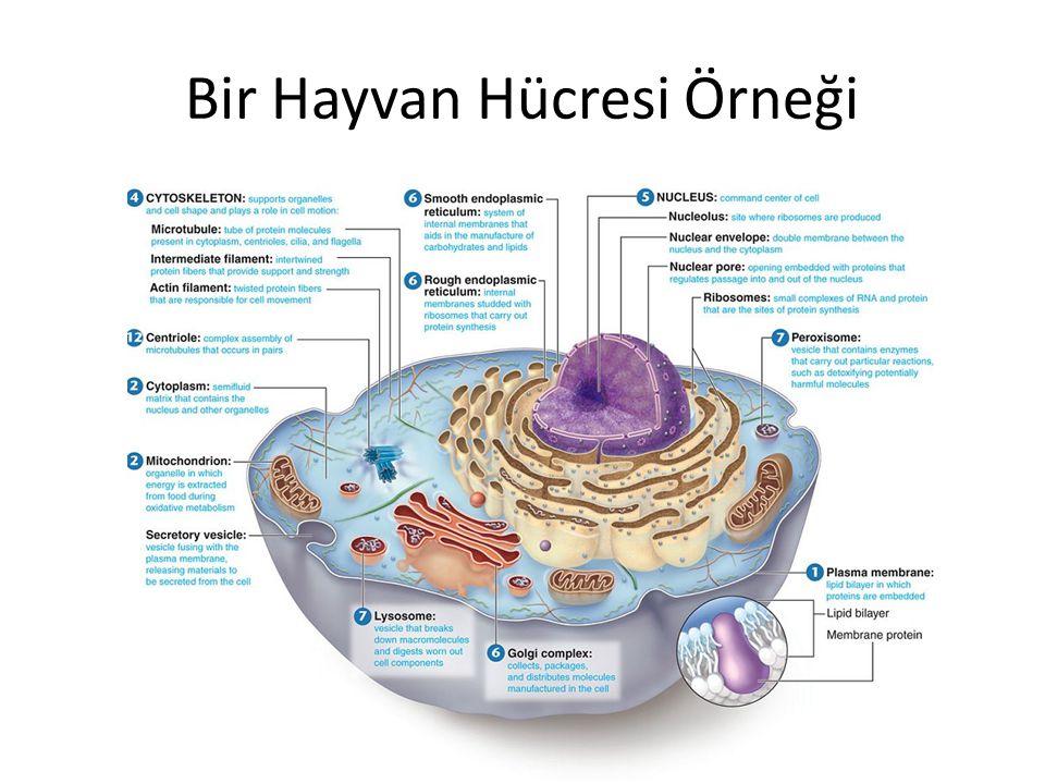 Bir Hayvan Hücresi Örneği