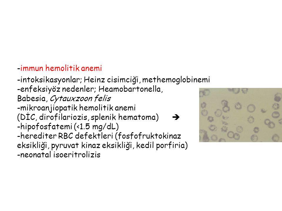 -immun hemolitik anemi -intoksikasyonlar; Heinz cisimciği, methemoglobinemi -enfeksiyöz nedenler; Heamobartonella, Babesia, Cytauxzoon felis -mikroanjiopatik hemolitik anemi (DİC, dirofilariozis, splenik hematoma)  -hipofosfatemi (<1.5 mg/dL) -herediter RBC defektleri (fosfofruktokinaz eksikliği, pyruvat kinaz eksikliği, kedil porfiria) -neonatal isoeritrolizis