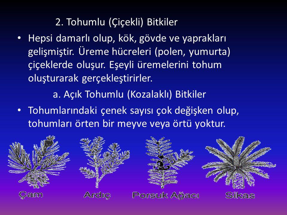 2. Tohumlu (Çiçekli) Bitkiler • Hepsi damarlı olup, kök, gövde ve yaprakları gelişmiştir. Üreme hücreleri (polen, yumurta) çiçeklerde oluşur. Eşeyli ü