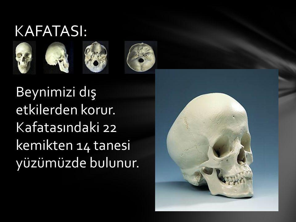 KAFATASI: Beynimizi dış etkilerden korur. Kafatasındaki 22 kemikten 14 tanesi yüzümüzde bulunur.