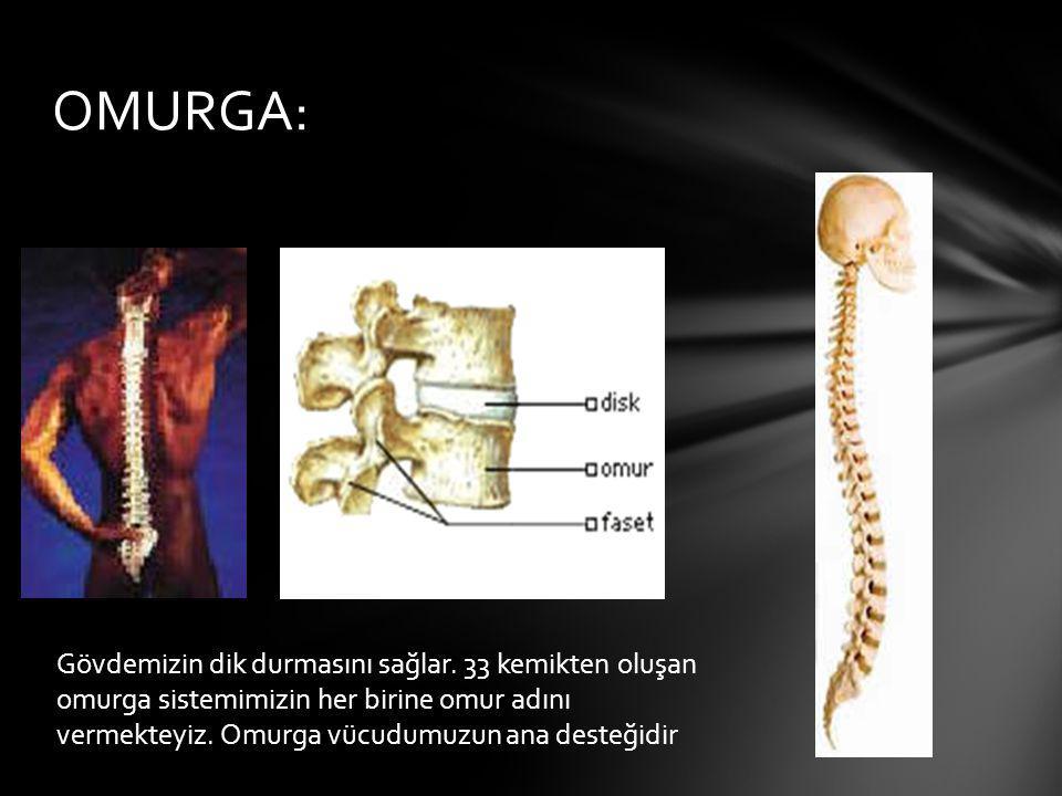 OMURGA: Gövdemizin dik durmasını sağlar. 33 kemikten oluşan omurga sistemimizin her birine omur adını vermekteyiz. Omurga vücudumuzun ana desteğidir