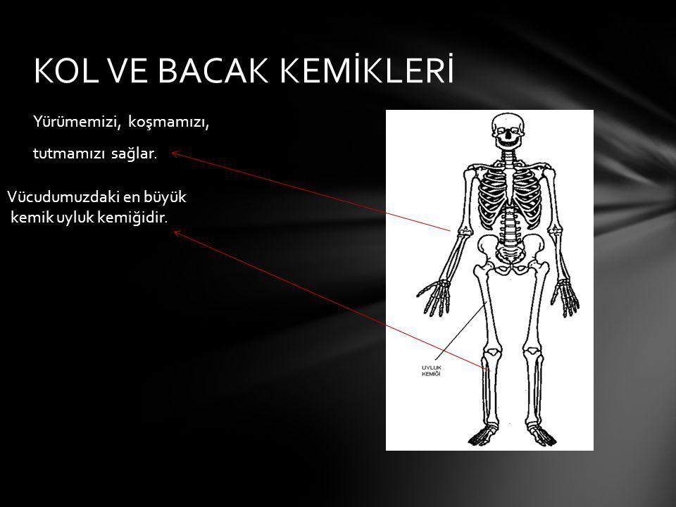 Yürümemizi, koşmamızı, tutmamızı sağlar. KOL VE BACAK KEMİKLERİ Vücudumuzdaki en büyük kemik uyluk kemiğidir.