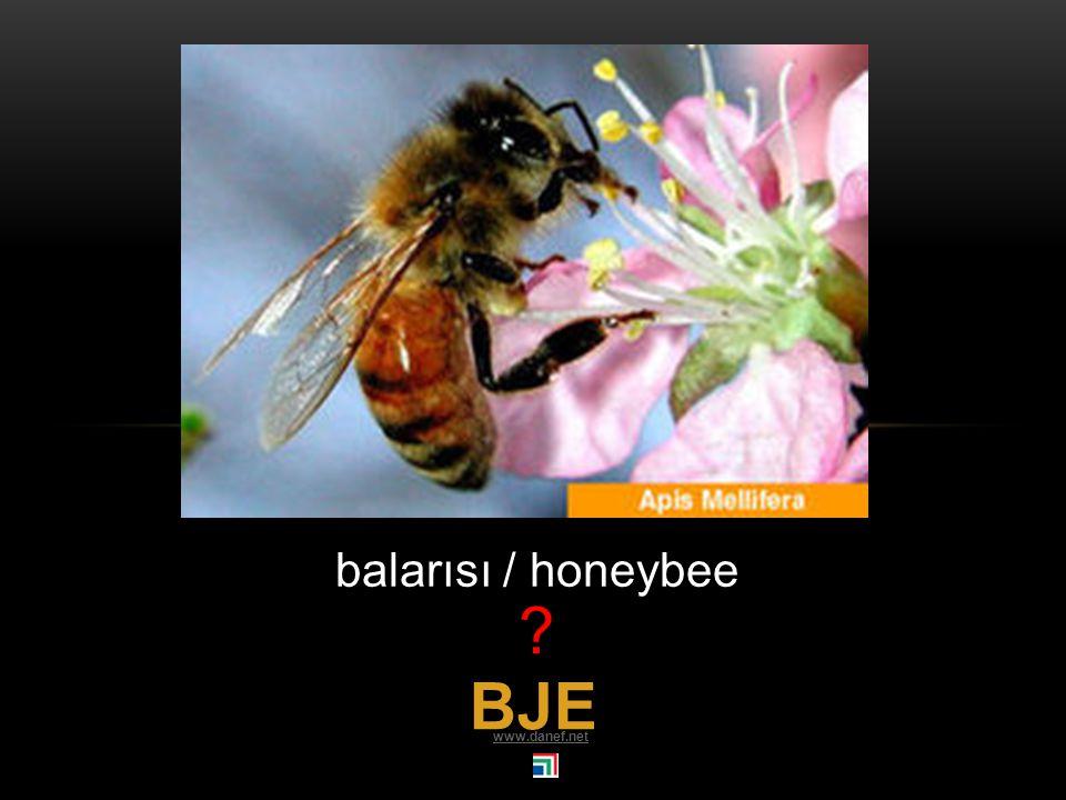 BAŹE sinek / fly