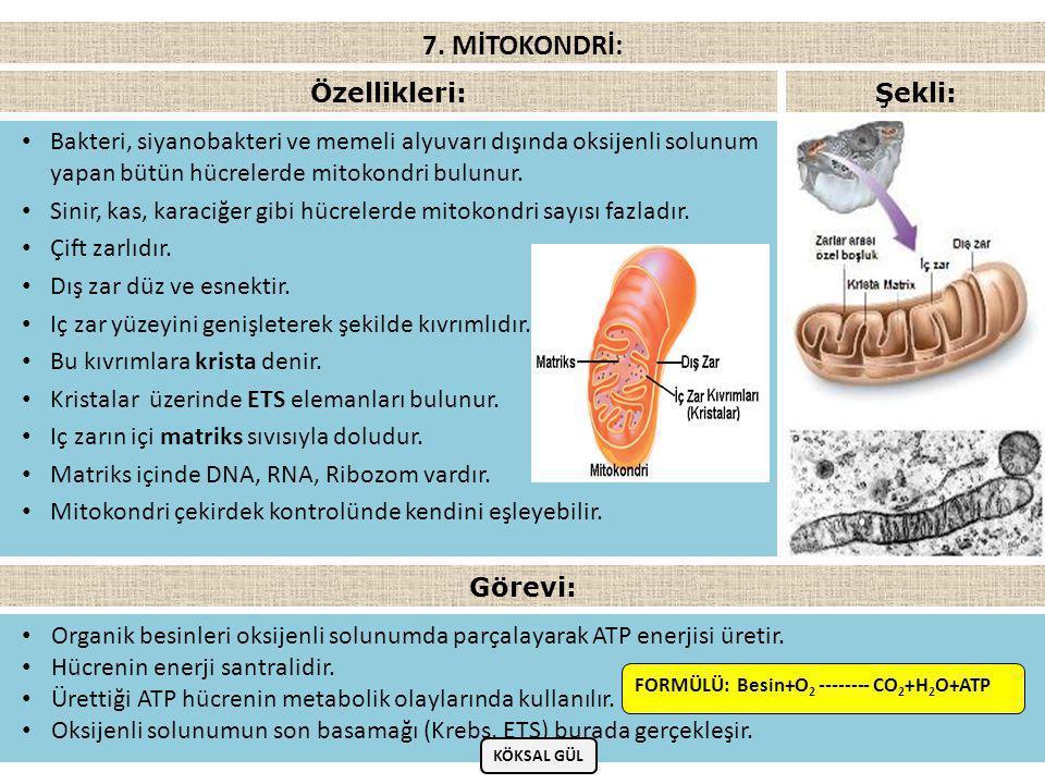 • Bakteri, siyanobakteri ve memeli alyuvarı dışında oksijenli solunum yapan bütün hücrelerde mitokondri bulunur.