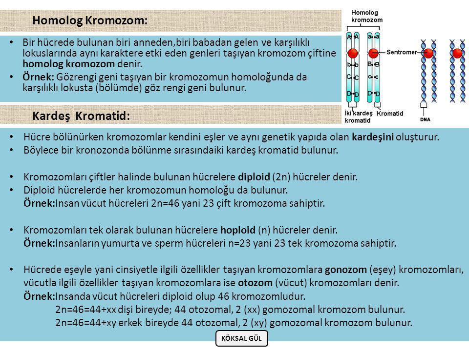 • Bir hücrede bulunan biri anneden,biri babadan gelen ve karşılıklı lokuslarında aynı karaktere etki eden genleri taşıyan kromozom çiftine homolog kromozom denir.