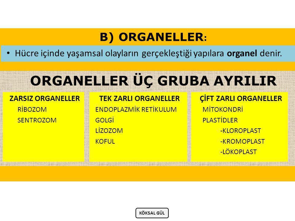 B) ORGANELLER : • Hücre içinde yaşamsal olayların gerçekleştiği yapılara organel denir.