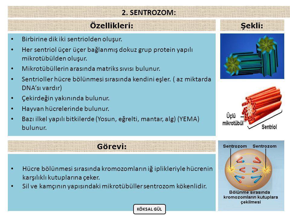 d) KROMATİN İPLİK: • Bölünme olmadığı dönemde hücre çekirdeğindeki DNA'ların oluşturduğu iplik şeklindeki yapılara kromatin iplik denir.