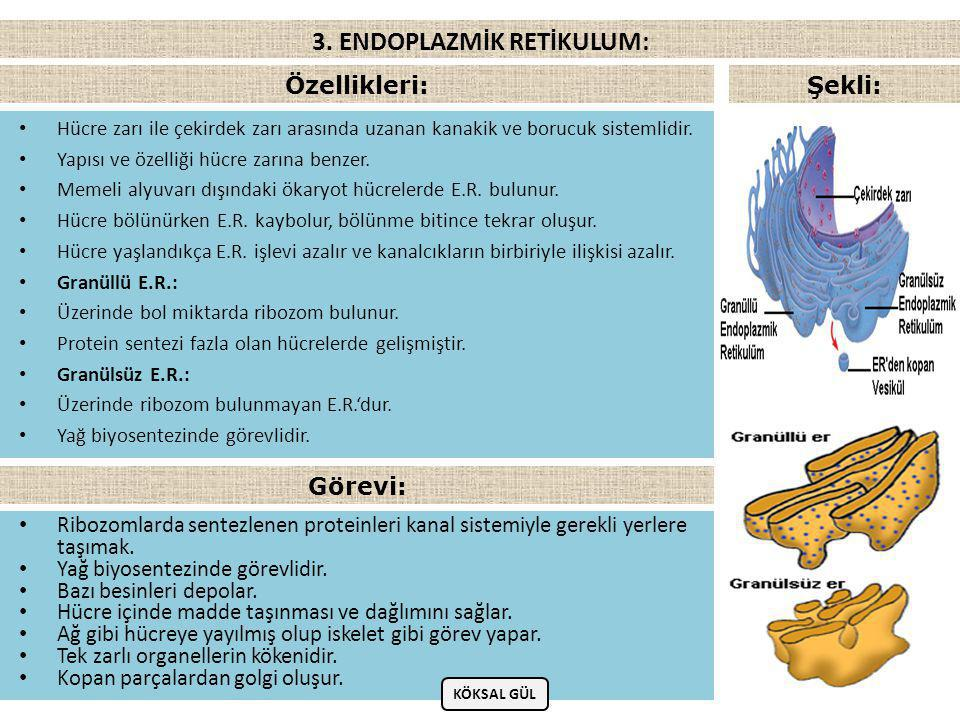 • G.süz.E.R'a benzer. • Çekirdeğin yakınında bulunan keseciklerden oluşur.