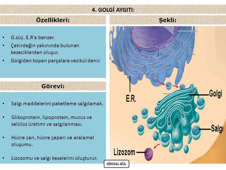 • İçinde protein, yağ ve karbonhidratları sindiren enzimler bulunan organeldir.