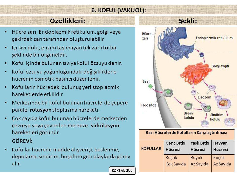 KOFUL ÇEŞİTLERİ: a) Besin Kofulu:  Hücre dışardan besin alırken hücre zarı besinin etrafını sararak kese şeklinde besin kofulunu oluşturur.