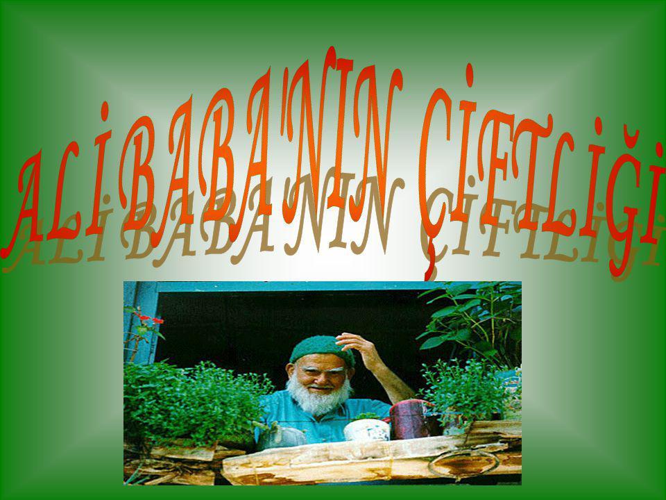 Ali Baba'nın bir çiftliği var Çiftliğinde horozları var Ü ürü üü ü ürü üü diye bağırır Çiftliğinde Ali Baba'nın