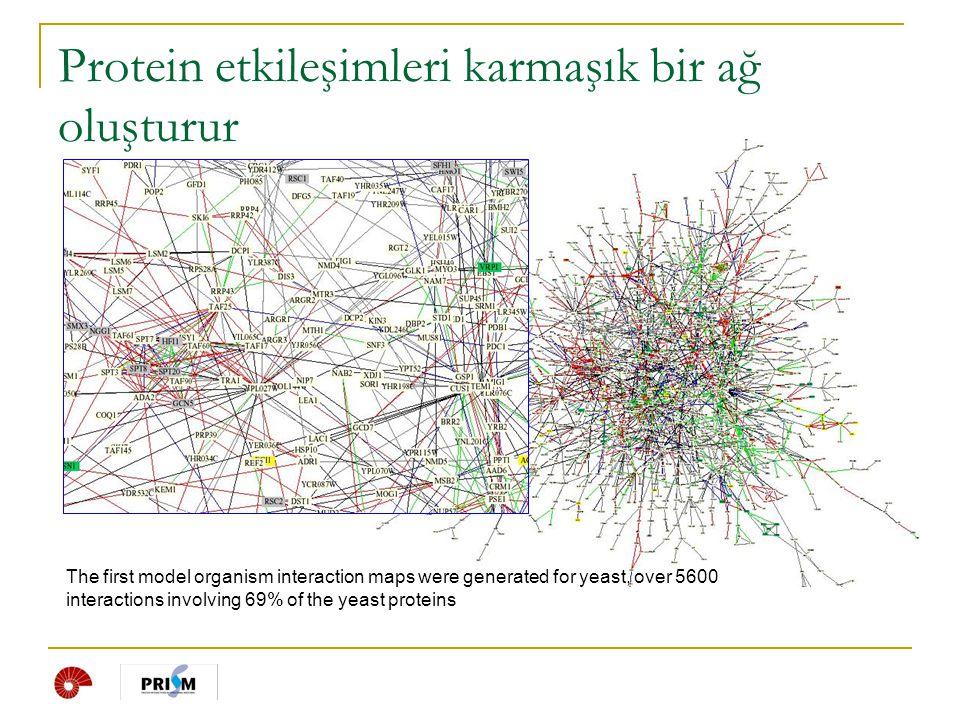 Protein etkileşimleri karmaşık bir ağ oluşturur The first model organism interaction maps were generated for yeast, over 5600 interactions involving 6