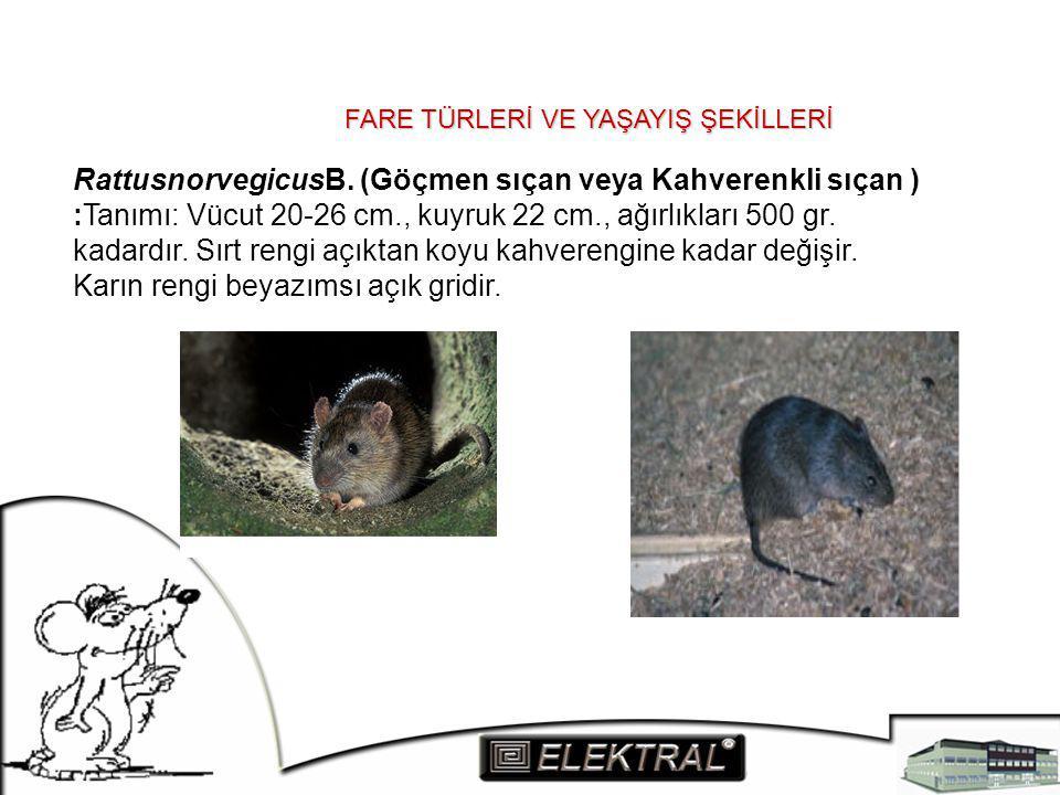 FARE TÜRLERİ VE YAŞAYIŞ ŞEKİLLERİ RattusnorvegicusB. (Göçmen sıçan veya Kahverenkli sıçan ) :Tanımı: Vücut 20-26 cm., kuyruk 22 cm., ağırlıkları 500 g