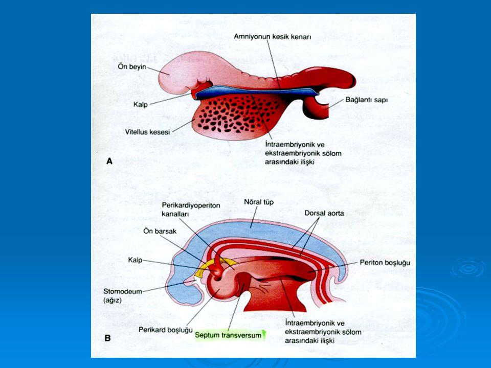 Embiyonik Kıvrımlar  Kıvrılmanın Sonuçları: - Bukkofaringeyal zar  Gelecekteki ağız bölgesine, - Bukkofaringeyal zar  Gelecekteki ağız bölgesine, - Kardiyojenik alan  Gelecekteki göğüs bölgesine, - Kardiyojenik alan  Gelecekteki göğüs bölgesine, - Septum transversum  Kardiyojenik bölgenin kaudaliyle vitellüs kesesinin boynu arasına yerleşir.