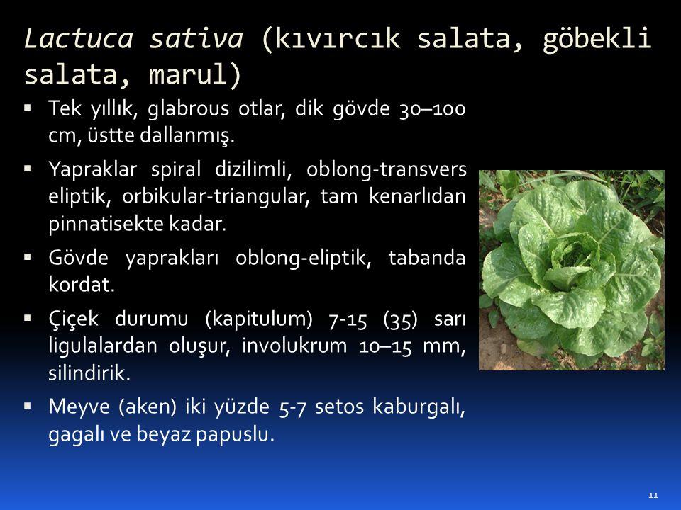 Lactuca sativa (kıvırcık salata, göbekli salata, marul)  Tek yıllık, glabrous otlar, dik gövde 30–100 cm, üstte dallanmış.  Yapraklar spiral dizilim