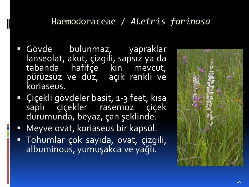 Haemodoraceae / Aletris farinosa  Gövde bulunmaz, yapraklar lanseolat, akut, çizgili, sapsız ya da tabanda hafifçe kın mevcut, pürüzsüz ve düz, açık