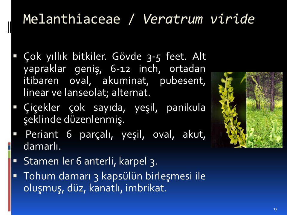 Melanthiaceae / Veratrum viride  Çok yıllık bitkiler. Gövde 3-5 feet. Alt yapraklar geniş, 6-12 inch, ortadan itibaren oval, akuminat, pubesent, line