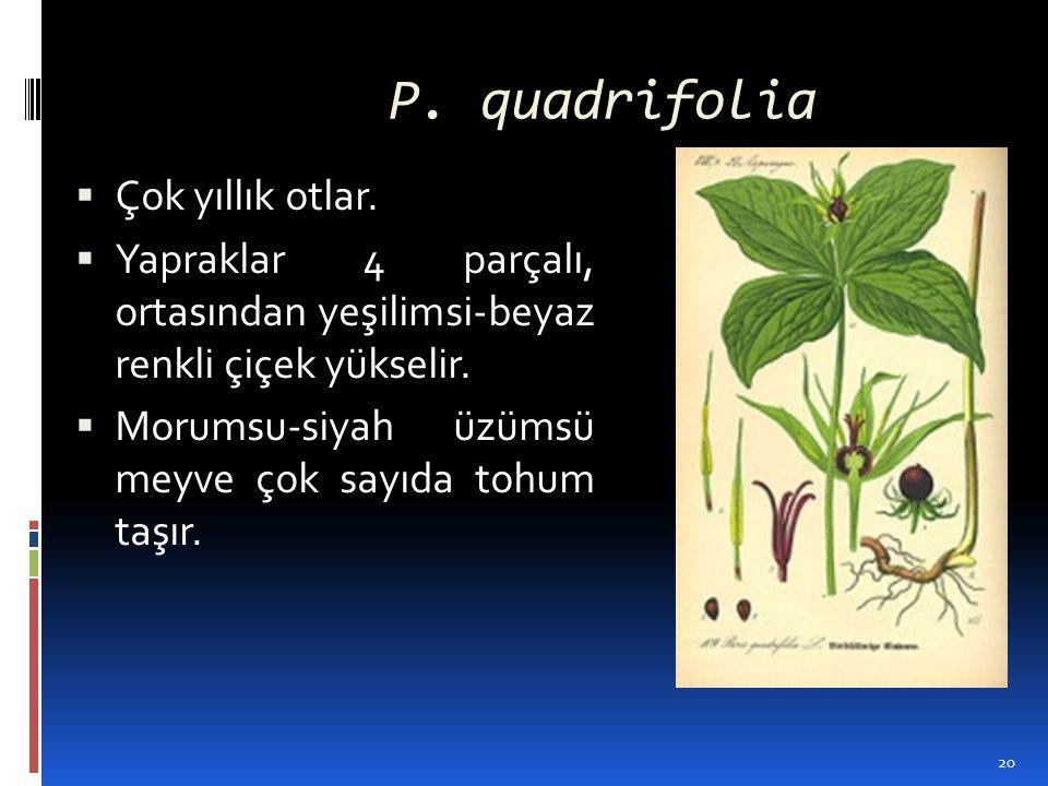 P. quadrifolia  Çok yıllık otlar.  Yapraklar 4 parçalı, ortasından yeşilimsi-beyaz renkli çiçek yükselir.  Morumsu-siyah üzümsü meyve çok sayıda to