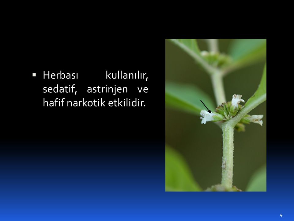  Herbası kullanılır, sedatif, astrinjen ve hafif narkotik etkilidir. 4