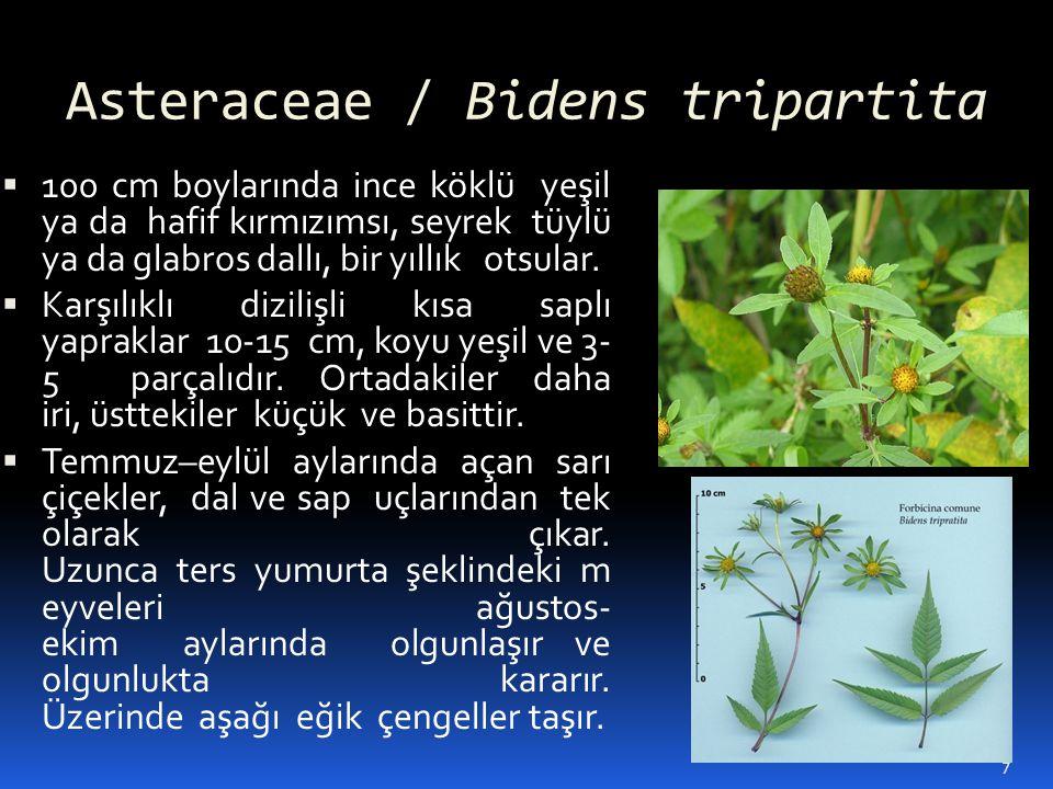 Asteraceae / Bidens tripartita  100 cm boylarında ince köklü yeşil ya da hafif kırmızımsı, seyrek tüylü ya da glabros dallı, bir yıllık otsular.  Ka