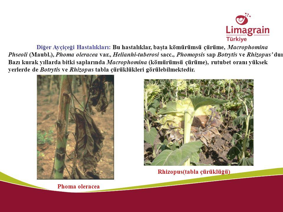 Diğer Ayçiçeği Hastalıkları: Bu hastalıklar, başta kömürümsü çürüme, Macrophomina Phseoli (Maubl.), Phoma oleracea var., Helianhi-tuberosi sacc., Phom