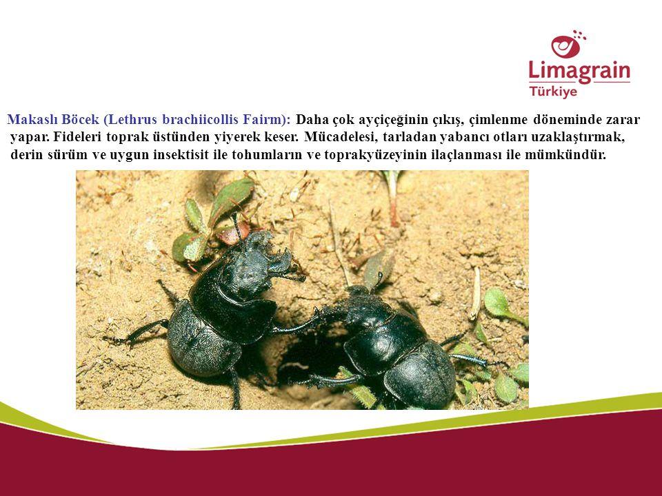 Makaslı Böcek (Lethrus brachiicollis Fairm): Daha çok ayçiçeğinin çıkış, çimlenme döneminde zarar yapar. Fideleri toprak üstünden yiyerek keser. Mücad