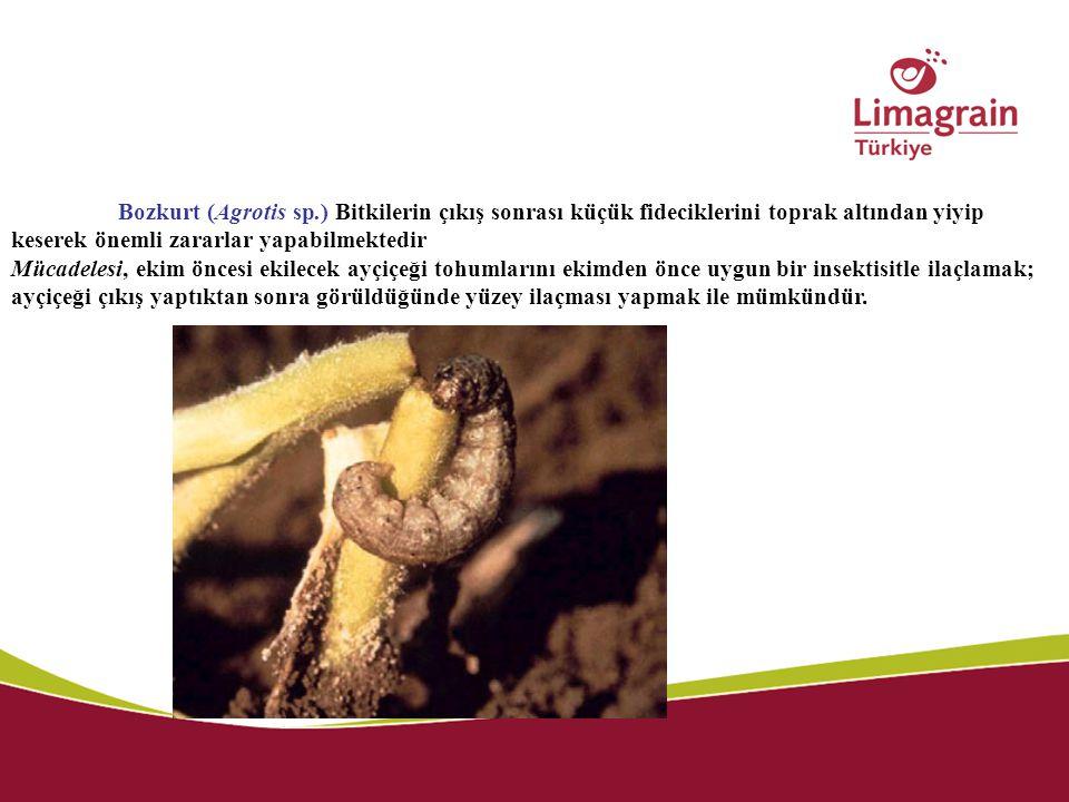 Bozkurt (Agrotis sp.) Bitkilerin çıkış sonrası küçük fideciklerini toprak altından yiyip keserek önemli zararlar yapabilmektedir Mücadelesi, ekim önce