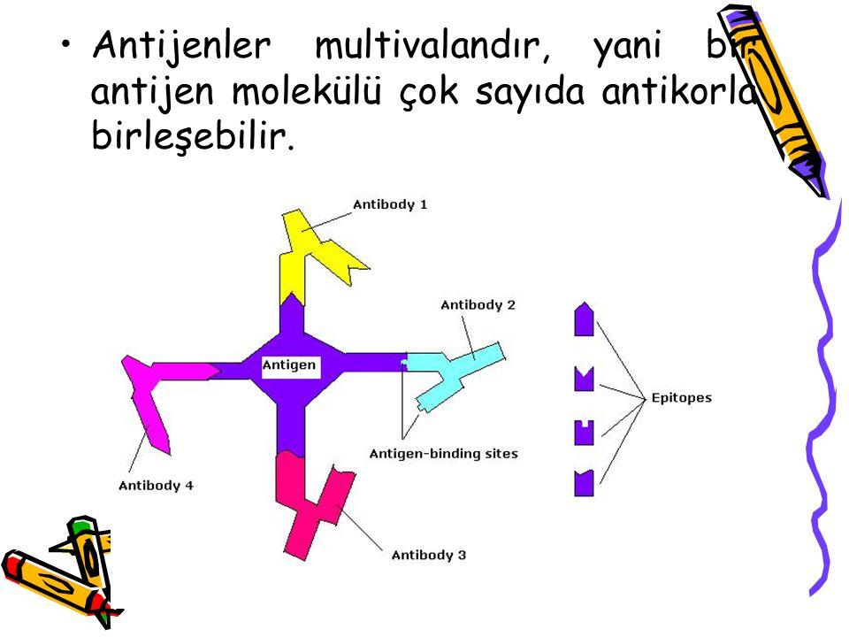 •Antijenler multivalandır, yani bir antijen molekülü çok sayıda antikorla birleşebilir.