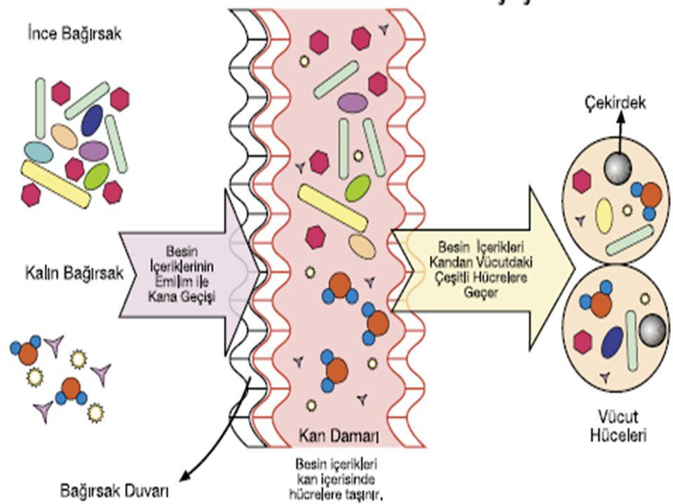 •A•Aşağıdaki şemada sindirime uğrayan besinlerin bağırsaklardan kana, kandan da vücut hücrelerine geçişi görülmektedir. •B•Besin içeriklerinin hangile
