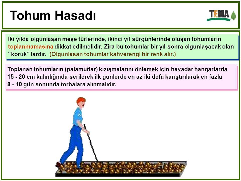 İki yılda olgunlaşan meşe türlerinde, ikinci yıl sürgünlerinde oluşan tohumların toplanmamasına dikkat edilmelidir.