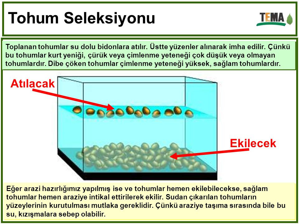 Tohum Seleksiyonu Toplanan tohumlar su dolu bidonlara atılır.