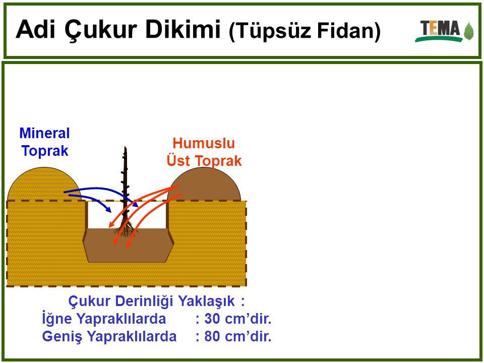 Kök Boğazı 1 veya 2 cm. Toprak içinde kalacak Can suyu verilir. Adi Çukur Dikimi (Tüpsüz Fidan)