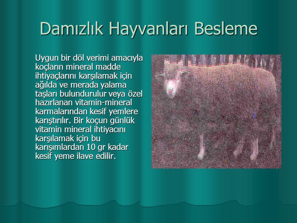Damızlık Hayvanları Besleme Uygun bir döl verimi amacıyla koçların mineral madde ihtiyaçlarını karşılamak için ağılda ve merada yalama taşları bulundu