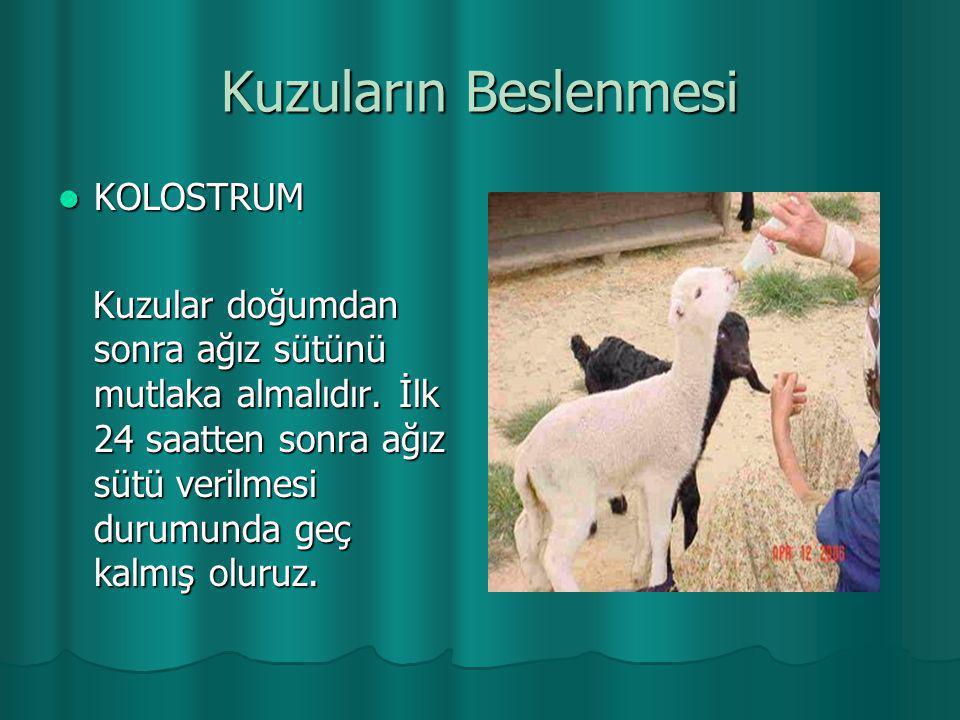 Kuzuların Beslenmesi  KOLOSTRUM Kuzular doğumdan sonra ağız sütünü mutlaka almalıdır. İlk 24 saatten sonra ağız sütü verilmesi durumunda geç kalmış o