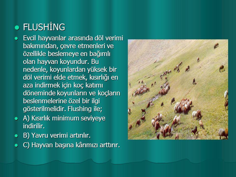 FLUSHİNG  Evcil hayvanlar arasında döl verimi bakımından, çevre etmenleri ve özellikle beslemeye en bağımlı olan hayvan koyundur. Bu nedenle, koyun