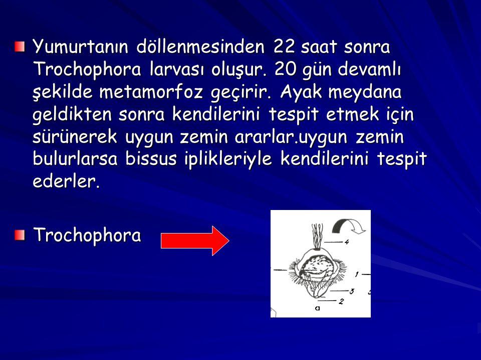 Yumurtanın döllenmesinden 22 saat sonra Trochophora larvası oluşur. 20 gün devamlı şekilde metamorfoz geçirir. Ayak meydana geldikten sonra kendilerin