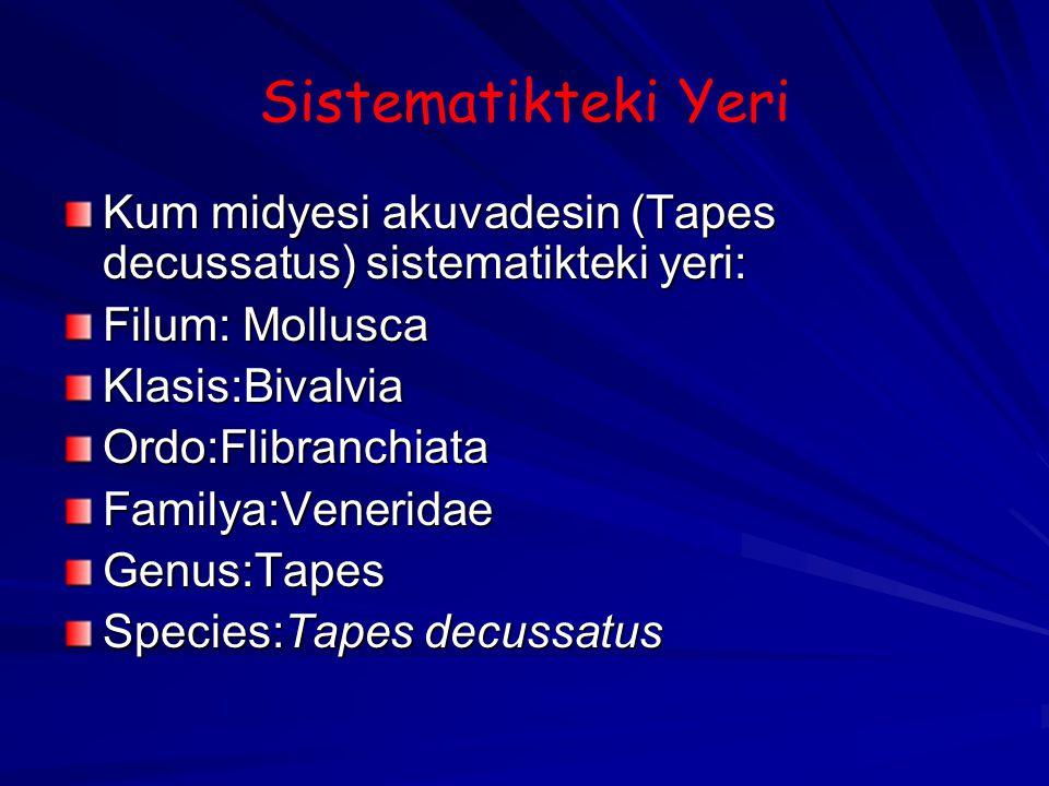 Sistematikteki Yeri Kum midyesi akuvadesin (Tapes decussatus) sistematikteki yeri: Filum: Mollusca Klasis:BivalviaOrdo:FlibranchiataFamilya:VeneridaeG